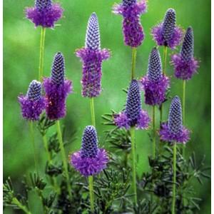 Petalostemon purpureum 'Stephanie' / Purpurne preeriaristik 'Stephanie'